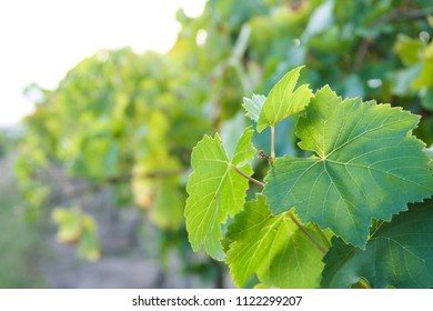 New growth on a green grapevine in the foreground of a row of grapevines, in a vineyard in morning light