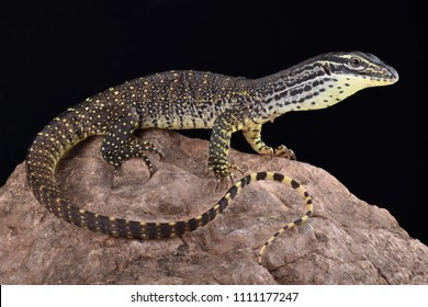 The New Guinea Argus monitor (Varanus panoptes horni) is a large omnivorous lizard species.