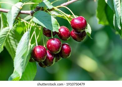 New harvest of big dark ripe sweet cherries on cherry trees plantation in Netherland