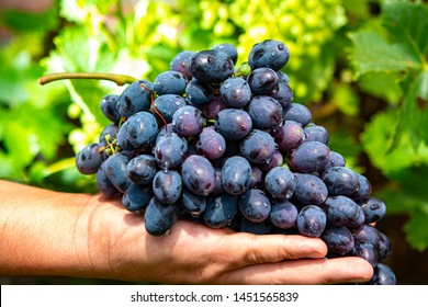 New harvest of blue, purple or red wine or table grape, hand holding bunch of ripe grape on green grape plant background
