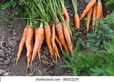 New harvest of fresh raw organic carrots with tops on soil, in the garden, close up