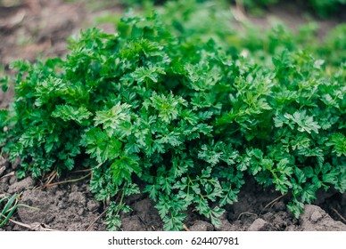 New harvest of parsley
