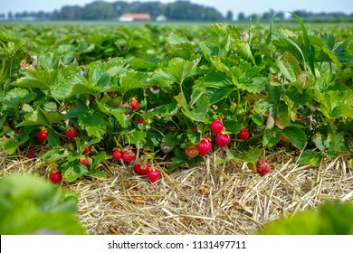 New harvest of sweet fresh outdoor red strawberry, growing outside in soil, rows with ripe tasty strawberries