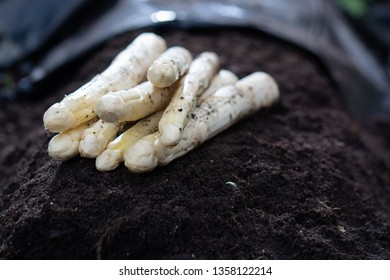 New harvest of  white asparagus vegetable in spring season, asparagus growing up from the ground on farm close up