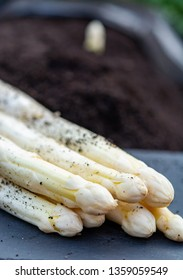 New harvest of  white asparagus vegetable in spring season, white head of asparagus growing up from the ground on farm close up