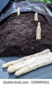 New harvest of  white asparagus vegetable in spring season, white heads of asparagus growing up from the ground on farm close up