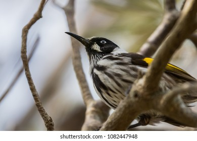 New Holland Honeyeater keeping a close eye for its next lunch destination.