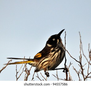 New Holland Honey-eater on a Branch