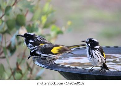 New Holland Honeyeaters (Phylidonyris novaehollandiae) at birdbath, South Australia