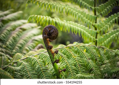 New leaf of New Zealand fern