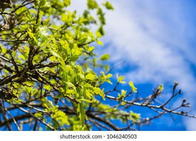 New leaves growing on the branches of a valley oak (Quercus lobata) in springtime, south San Francisco bay area, California