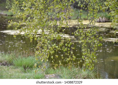 New leaves on a birch tree by a small pond by spring season