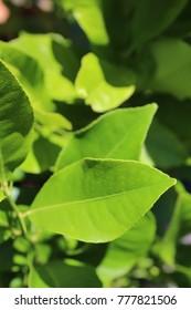 New Leaves on a Lemon Tree