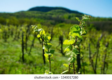 new leaves on vine plants, Badacsony hill at background