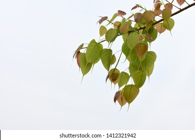 New leaves of Peepal tree (Ficus religiosa) also known as  bodhi , pippala or ashwattha tree.