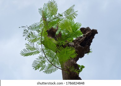 New leaves sprouting from the broken trunk of a Gulmohar tree