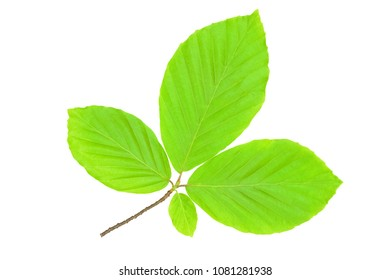 New life and spring time concept - perfect green and fresh hornbeam leaves in close-up (high details)
