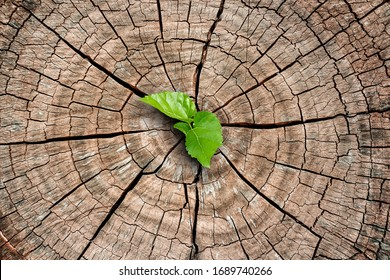 A new life start with the sprout of green leaves on a dead trees stump. Recovery of the Nature.