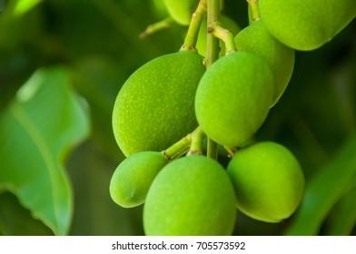 New mangos on mango tree