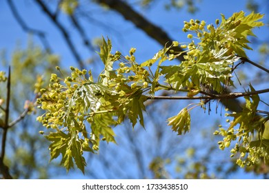 New maple leaves and flowers on a twig in a tree
