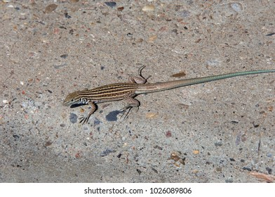 New Mexican Whiptail lizard braves the heat and slowly moves across the hot pavement.