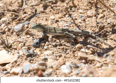 The New Mexico whiptail (Cnemidophorus neomexicanus) a pathenogenetic female-only species of lizard, is the official state reptile of New Mexico.