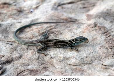 New Mexico whiptail lizard (Cnemidophorus neomexicanus)