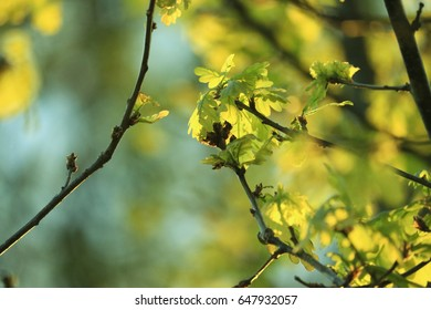 new oak leaves in the evening sun