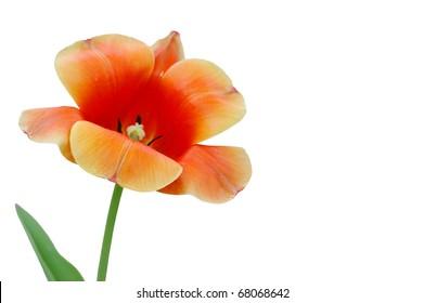 A new orange spring tulip isolated white