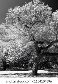 New Orleans, LA USA - May, 8 2018  -  Tree  inAudubon Park with blue sky