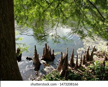 New Orleans, Louisiana - April 22, 2011: Cypress Knees in Audubon Park Lagoon, New Orleans