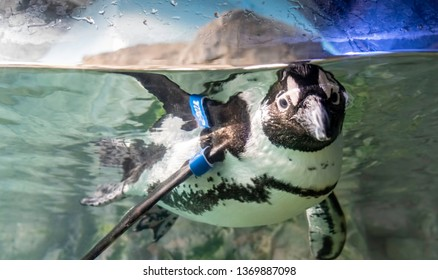 New Orleans, USA - Dec 10, 2017: Young penguin playfully submerged in water and looking out of tank at the popular Audubon Aquarium of the Americas. It's flipper is tagged for scientific research.