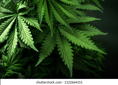New photos of beautiful cannabis cannabis for your publications and resources about this