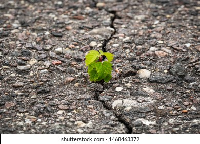 New plant grow in a cracked asphalt. Rising sprout on dry ground.