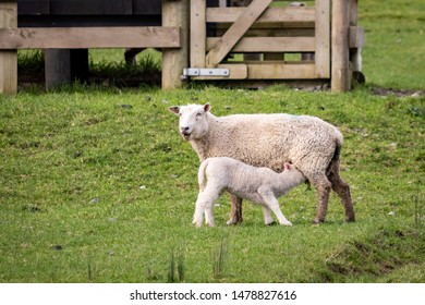 New season`s New Zealand lambs with ewes