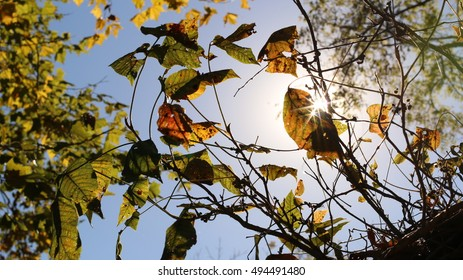 New Shoots Growing From Cedar Tree Stump With Sun Beaming Through Leaves And Blue Sky Beyond During The Season Of Fall On A Farm In The Mountains Of South West Virginia
