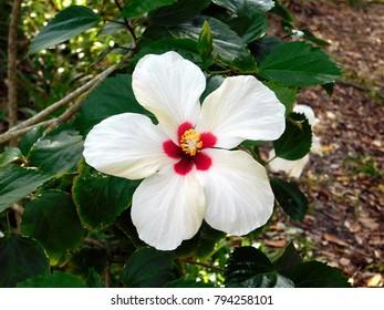 New Smyrna Beach, Florida/US - December5, 2017:  White Hibiscus flower