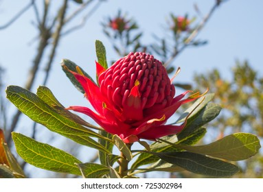 New South Wales Waratah (Telopea speciosissima) in the Abbey Gardens on the Island of Tresco in the Isles of Scilly, England, UK