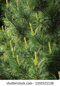 New spring growth on the branches of a pine tree