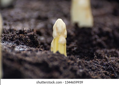 New spring season of white asparagus vegetable on field ready to harvest, white heads of asparagus growing up from the ground on farm close up