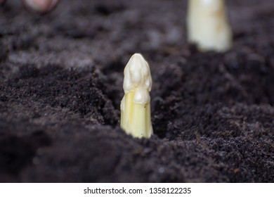 New spring season of white asparagus vegetable on field ready to harvest, white head of asparagus growing up from the ground on farm close up