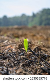 New Sprout growth from the ashes. The farm land was burnt to ashes.