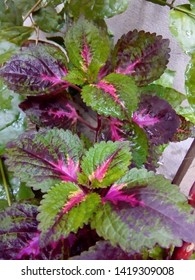 New varieties of coleus plants are bred to withstand full sun.Miana plant known as coleus plant, herbs plant with red leaves