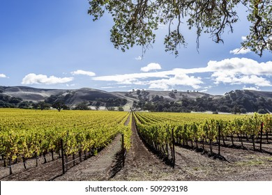 New vineyards in the rolling hills of Santa Barbara County wine country. Blue skies, white clouds, with gentle rolling hills and oak trees, dominate the background.