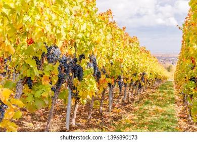 New vintage wine background. Autumn in Vineyards Palatinate region, German Wine Road, Rhineland Palatinate, Germany.