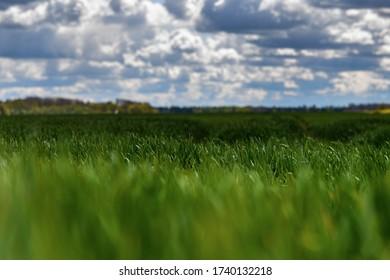 Neues Weizenfeld im Frühjahr.