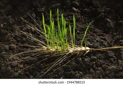 New wheat generation growing out of old ear on fertile soil, re-creation concept - Shutterstock ID 1944788515