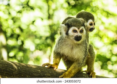 A New World Spider Monkey scene with lush green foliage.