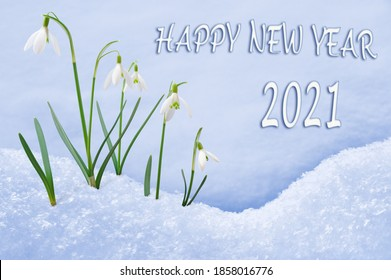 New Year 2021greeting card, group of snowdrops, Happy New Year text in English language