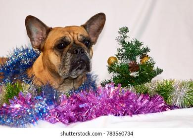 New year french bulldog